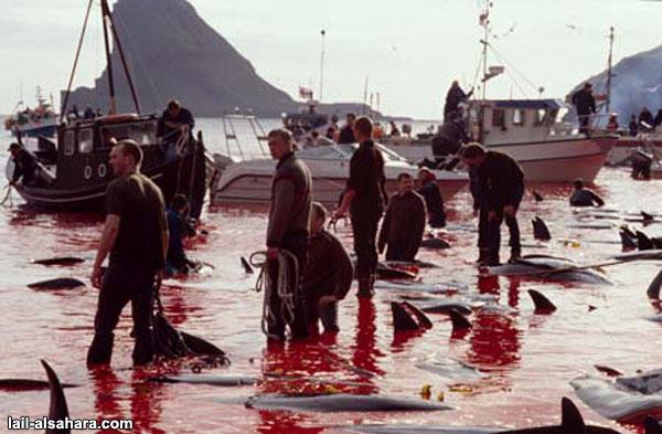 No Futur - la terre au 21° siecle - Page 3 Massacre-dauphin-danemark3-7bccd1