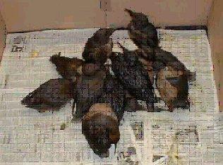 oiseaux_mazoutes-1df54b5.jpg (316×234)