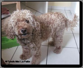 DOLIE caniche caline et en pleine forme de 10 ans Dolly--co--02-1bcb4b2