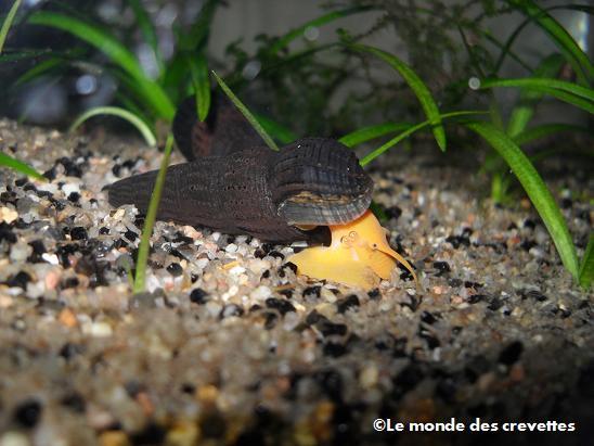 Mes nouveau Tylomelania 20091003_37-13b81a5