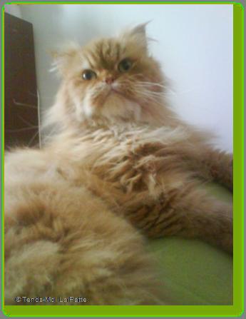 BOSTON un chat qui adore les câlins Ti-boston---oc-04-184811b